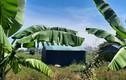 Dự án khách sạn 5 sao trở thành khu trồng chuối