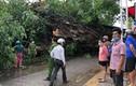 1 người chết vì bị cây đa hơn 200 tuổi đổ đè lên