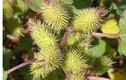 Tân di hoa hỗ trợ điều trị bệnh viêm mũi, viêm xoang