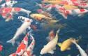 Vì sao loài cá này được bán giá 1,8 triệu USD một con?