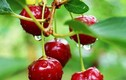 Học cách trồng cherry trong chậu, mỗi ngày thu 300 quả