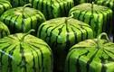 Video: Trồng dưa hấu vuông, bán hơn 2,3 triệu đồng/quả