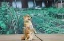"""Đạo diễn cương quyết để chó Nhật đóng """"Cậu Vàng"""" dù gây tranh cãi"""