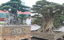 Mua cây sanh cổ quá cao, cắt làm đôi tạo thành 2 cây bán gần 20 tỷ