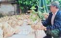 Lạ lùng làng quê Hải Dương chơi Tết bằng củ đậu siêu to khổng lồ