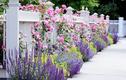 Nhà nổi bật nhờ những hàng rào hoa đơn giản, đẹp lãng mạn