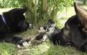 Video: Thích thú xem chó nhà chăm đàn vịt con
