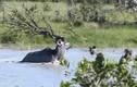 Clip: Nhảy sông săn linh dương, chó hoang bị sút tung mõm