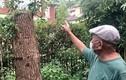 Bị phạt gần nửa tỷ đồng vì tỉa cây tự trồng trước nhà