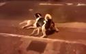 Cảm động chú chó canh xác bạn chết trên đường