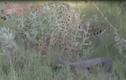 Kỳ đà tấn công dồn dập báo đốm bằng đuôi