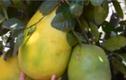Ngỡ ngàng quả chanh khổng lồ gần 7kg ở Đà Lạt