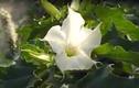 Cận cảnh loài hoa dùng chế tạo độc dược đáng sợ nhất