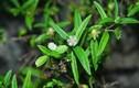 5 bài thuốc chữa bệnh tuyệt vời từ cây nhọ nồi