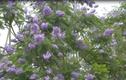 Khó cưỡng nổi mùa hoa phượng tím Đà Lạt thơ mộng