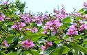 Top ca khúc tuyệt hay về hoa bằng lăng