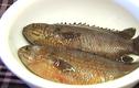 Bài thuốc chữa bệnh xương khớp thần kỳ từ cá rô đồng