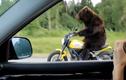 Xôn xao clip gấu đi xe phóng như bay trên cao tốc