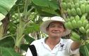 Bí quyết trồng chuối thu nhập 30 triệu đồng/tháng