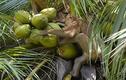Video khỉ phải hái 1000 quả dừa mỗi ngày gây sốc