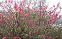 Hoa đào nở giữa mùa thu tại Lào Cai