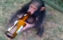 """Tìm ra chú khỉ """"bợm nhậu"""" nhất hành tinh"""
