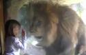 """Phản ứng điên cuồng của sư tử sau khi bé gái """"hôn gió"""""""