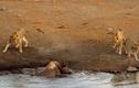 Cận cảnh tê giác sa lầy bị 3 sư tử quây
