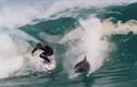 Cá heo hoang dã gây sốc khi lướt sóng cùng con người