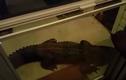 Phát hoảng vì thấy cá sấu khủng mai phục ngoài cửa