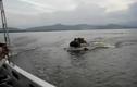 Bầy hà mã điên cuồng truy sát tàu của du khách trên sông
