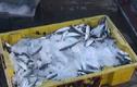 Hậu quả khủng khiếp khi ăn cá biển tồn dư chất cadimi