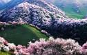 Bồng lai tiên cảnh ở thung lũng hoa mơ lớn nhất thế giới