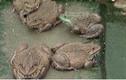 Bí quyết nuôi ếch bằng tỏi thu tiền tỷ mỗi năm