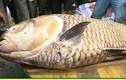 Cận cảnh cá hô 125 kg giá hơn 300 triệu của ngư dân miền Tây