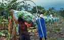Tận mắt cách trồng và thu hoạch chuối ở nước người ta