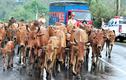 Ảnh: Cảnh sát giao thông lùa bò trên quốc lộ
