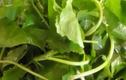Công dụng của rau má trong việc chữa bệnh không thể bỏ qua