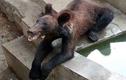 Xót xa gấu chỉ còn da bọc xương trong vườn thú