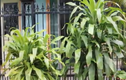 Video: Trồng cây thiết mộc lan, gia chủ phải chú ý điều này để may mắn