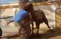 Clip: Lạc đà nổi cơn điên ngoạm đầu, ném người xuống đất