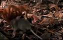 Clip: Nhện 'khủng' xơi tái chuột