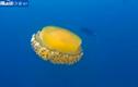 Cận cảnh sứa trứng rán cực hiếm gặp