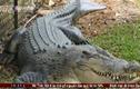 Clip: Cá sấu dài 1.2m sổng chuồng tại Việt Nam