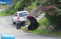 Gấu đen khổng lồ hỗn chiến, tát nhau tới tấp