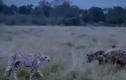 Báo Cheetah đuổi linh cẩu chạy bạt vía