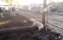 Trận hỗn chiến giữa chó và gà trống
