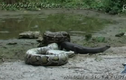 Rùng rợn cảnh cá sấu dễ dàng bị trăn nuốt chửng