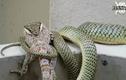 Xem rắn độc làm thịt tắc kè hoa