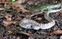 Kỳ lạ loài rắn có thể thay đổi màu sắc cơ thể